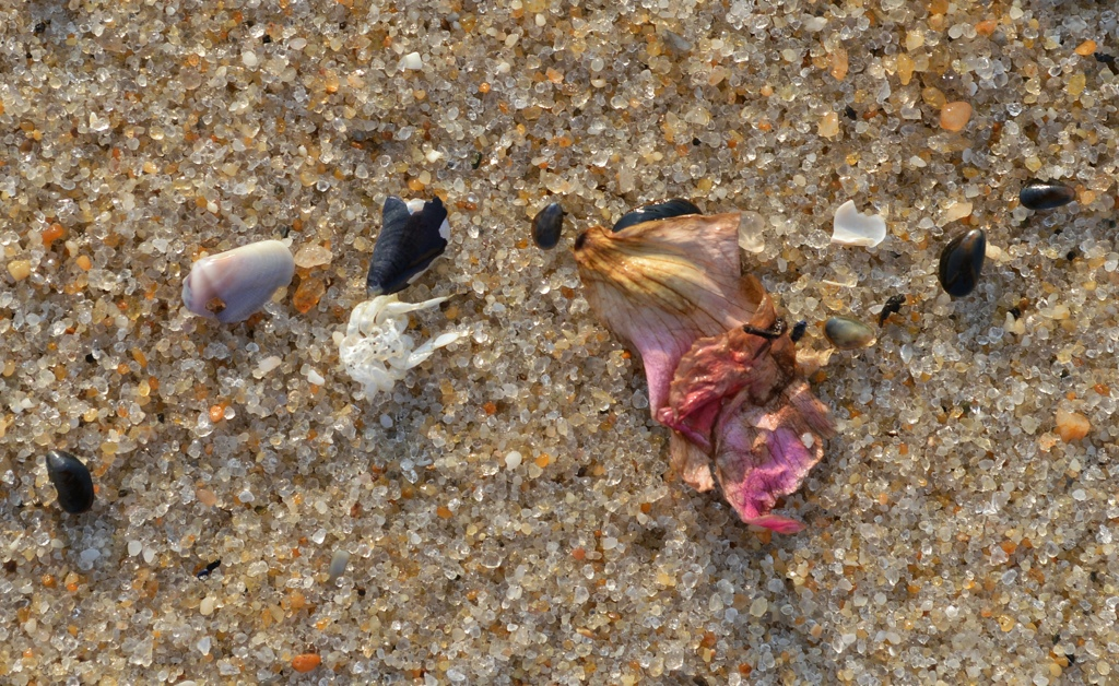 Composition with Coquina, Crab Carcass, and RosePetal