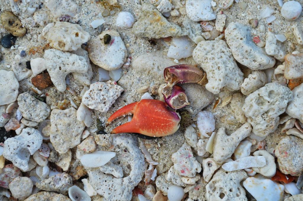 Crab Claw Pizazz